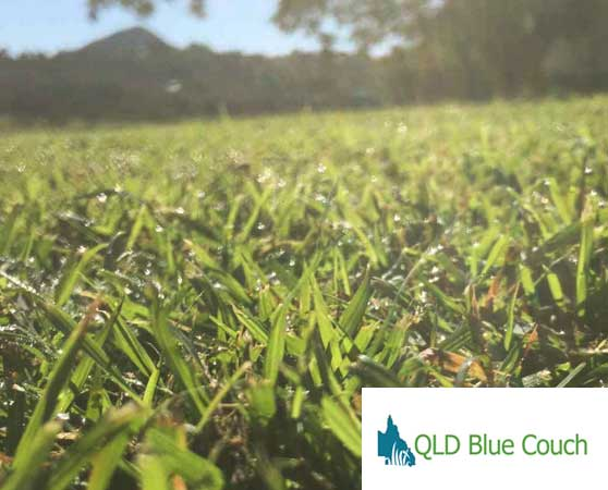north brisbane turf suppliers blue couch